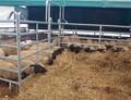 Prodej jatečných ovcí a jehňat